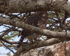 Pearl-spotted Owlet (Mark Vukovich) Tags: pearlspotted owlet owl raptor bird nocturnal ndutu tanzania