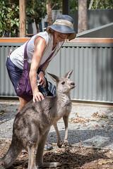 _DSC0559.jpg (Dale Lazar) Tags: lynnmagidlazar hartleyscrocodileadentures kangaroo wangettiau day7 blackheadedpython australia