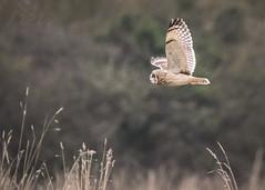 Short Eared Owl Fly By... (Fourteenfoottiger) Tags: shortearedowl owl nature bird wildbird wildlife winter countryside hunting flying