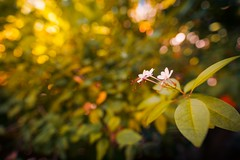 The Delicate Light (icemanphotos) Tags: flowers petals blooming bokeh blur nature natural light sunset