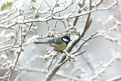 first snow (photos4dreams) Tags: photos4dreams photos4dreamz p4d vogelhaus vogel bird birdy meise birdhome herbst mysecretgarden vögel kohlmeise snow schnee esschneit snowing greattit winter