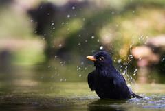 Blackbird taking a bath (Jongejan) Tags: jongejanphotovogels blackbird bird animal nature bath water splash outdoor outside wildlife cute