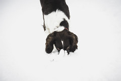 25W_8904 (Ian C. Robinson) Tags: snow english springer spaniel dog puppy pet photography gundog shooting fieldsports petphotography englishspringer springerspaniel gundogphotography