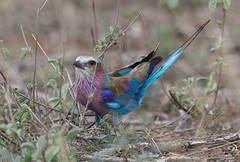 Lilac-breasted Roller -6271 (Theo Locher) Tags: birds coraciascaudatus gewonetroupant lilacbreastedroller oiseaux vogels vögel krugernationalpark kruger zuidafrika southafrica copyrighttheolocher