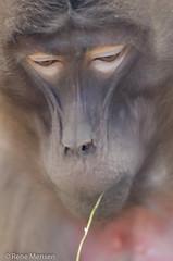 Baboon (Rene Mensen) Tags: baboon portrait face nikon nikkor nature blijdorp rotterdam zoo primate mammals