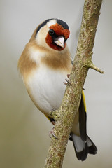 Goldfinch (Kentish Plumber) Tags: cardueliscarduelis finch goldfinch bird fringillidae red yellow black white brown tan perched