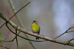 Siskin (Alex Srdic) Tags: uk england hampshire newforest southampton ringwood blashford blashfordlakes woodland woodlandhide hide birdhide bird birds passerine passerines siskin siskins