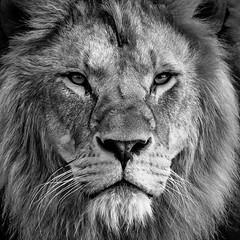 Lion (bransch.photography) Tags: africa boardgame face carnivore sonysel100400gm cat chess nature wild animal sonyalpha7riii majestic creature head wildlife king predator bigcat lion leo closeup zoo eye beautiful mammal hair