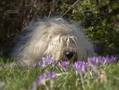 smells like spring (dewollewei) Tags: spring oes bobtail dewollewei lente bulbs crocus krokus flowers dogs dog oldenglishsheepdog oldenglishsheepdogs old english sheepdog sophieandsarah sarah