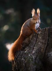 Rosso (Eros Penatti) Tags: sciurusvulgaris monza parcodimonza italia scoiattolorosso