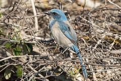 Florida Scrub-Jay (Jeremy Meyer) Tags: floridascrubjay florida scrubjay bird jay