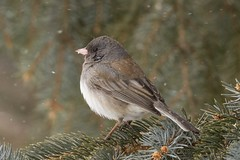 IMG_4954 little junco (starc283) Tags: starc283 flickr flicker wildlife bird birding birds nature natures finest outdoors outdoor canon 7d winter snow animal junco