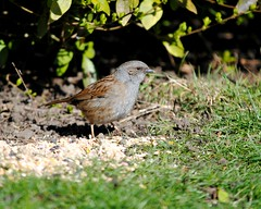 The humble dunnock (Squatbetty) Tags: dunnock hedgesparrow prunellamodularis myrtlepark bingley