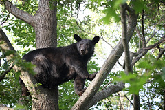 The Sentry (Megan Lorenz) Tags: blackbear bear sow female lippy animal mammal nature wildlife wild wildanimals ontario canada mlorenz meganlorenz