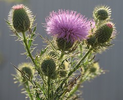 bull thistle (Cheryl Dunlop Molin) Tags: indianawildflowers weeds wildflower bullthistle