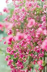 花開滿樹紅,花落萬枝空。 ([M!chael]) Tags: nikon f3hp nikkor 5014 ai fujifilm superia400 film manual taiwan chiayi flower color
