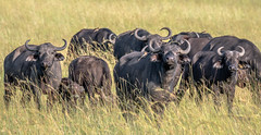 Safety in Numbers (helenehoffman) Tags: africa redbilledoxpecker kenya conservationstatusleastconcern bovidae synceruscaffer africanbuffalo capebuffalo mammal buphaguserythrorhynchus maasaimaranationalreserve animal alittlebeauty coth specanimal coth5 fantasticnature