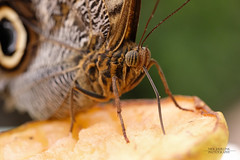 Vlinder (niekjuurlink) Tags: paars macro vlinder vlinders kleur groen fujifilm xt2 80mm fujinon f28 butterfly dier dieren natuur animal animals
