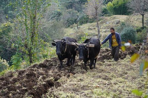Paysans Népalais, labour, culture du riz