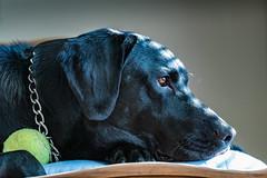 2019-004/365 Jet - Explored (Sharky.pics) Tags: labrador january 365project tamron90mmmacro wisconsin dog nikond850 blacklabrador unitedstates 2019 jet waukesha us