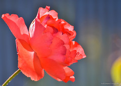 Nunca los colores tienen limites (volckmannfotografie) Tags: flor rosa rose flowers jardin garden nikon d7200 macro bokeh chile joaquinvolckmann jvolckmann