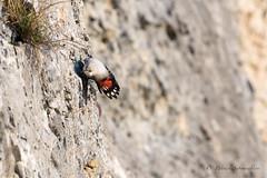 Tichodrome Échelette-Tichodroma muraria (PatNik01) Tags: tichodromamuraria tichodromeechelette oiseau montagne falaise bugey france nikon bird