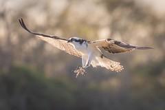 Old Faithful (gseloff) Tags: osprey bird flight bif landing nature wildlife animal mudlake armandbayou pasadena texas kayak gseloff