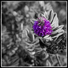 Purple Hebe (Alex . Wendes) Tags: hebe plant flower macro lensbaby selectivedesaturation selectivesaturation flowermacro lensbabycomposor sweet35 sweet35optic exposurex4