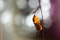 Winter leaf. (agnieszka.a.morawska) Tags: dof helios helios44m manuallens macro winter sunlight light forest bokeh beyondbokeh bokehlicious bkhq leaf liść