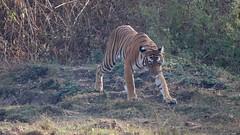 Wallking gingerly (Nagarjun) Tags: nagarholenationalreserve riverkabini tiger tigress bigcat animal wildlife safari