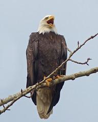 A Bald-faced Flyer (ebirdman) Tags: baldeagle bald eagle haliaeetusleucocephalus haliaeetus leucocephalus