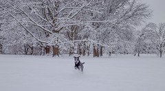 Time to Play (KC Mike Day) Tags: park dog walking running snow trees loose kcmo winter wonderland face white
