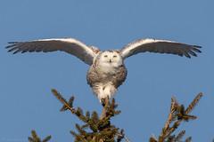 Snowy Owl Balance (NicoleW0000) Tags: snowyowl owl bird birdofprey wings flying pose perch winter arcticowl wildlife
