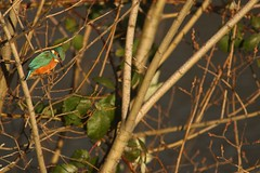 Jewel Of The Don (Derbyshire Harrier) Tags: kingfisher 2019 wild winter riverdon southyorkshire sheffield colourful iridescent february city urban alcedoatthis fiveweirswalk light industrial