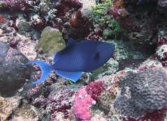 Odonus niger (kmlk2000) Tags: maldives vacation sea ocean sealife sun blue underwater fish poisson beach reef