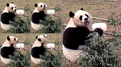 Mei Xiang (Hi cam fans! Welcome back! Excuse me–I smell something–maybe human visitors. No, false alarm. I think I smell rain or snow in the air. That means tomorrow I could be tumbling down my hill. Stay tuned.) 2019-01-29 at 12.37.59–.38.46 PM (MyFoto:)) Tags: ccncby panda endangered vulnerable meixiang smithsonian nationalzoo eating sniffing bamboo