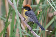 Yellow-breasted Brushfinch-21 (davidgardiner8) Tags: