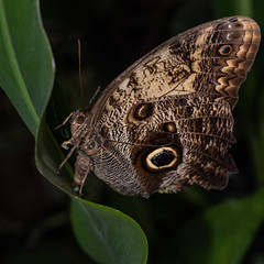 Up close & personal (adrian.sadlier) Tags: butterfly larva macro flash butterflyhouse malahide malahidedemesne nature