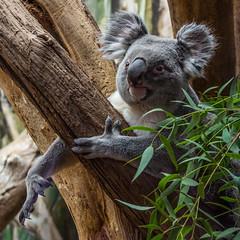 ein Koala zum knuddeln (jürgenmilnik) Tags: