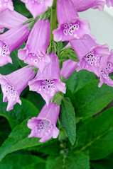 Foxglove (joeldinda) Tags: home potter mulliken 2010 0910 may foxglove yard flowers nikond300 nikon d300
