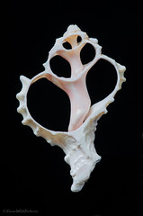 pink murex 9/100x 2019 (sure2talk) Tags: pinkmurex hexaplexerythrostomus shell slice onblack macro closeup nikond7000 nikkor85mmf35gafsedvrmicro 100xthe2019edition 100x2019 image9100 100x20199100