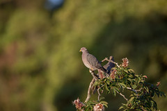 that warm glow (captured views) Tags: bird bandtailed sunnymorning californianativebird native nature capturedviews capturingthelivinglandscape
