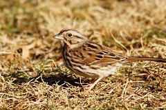 Song Sparrow (Anne Ahearne) Tags: wild bird animal nature wildlife closeup sparrow songbird birdwatching songsparrow