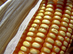 Alf 0006 - 0468 (Alf Ribeiro) Tags: agribusiness agriculture cereal closeup corn macro agricultural background breakfast cob cook cooking crop cuisine culture delicious diet ear eat farm food fresh freshness fruit golden grain harvest health healthy husk ingredient leaf maize meal natural nature nice nutrition organic plant raw ripe stem straw sweet tasty vegetable vegetarian vitamin yellow milho
