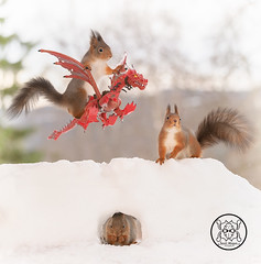 red squirrels sitting on a dragon and standing on a ice wall (Geert Weggen) Tags: dragon red squirrel air animal animals attacking back bird bright built castle closeup cute fly game high humor journey leaving shout openmouth sing gameofthrones fire scary fear wall bispgården jämtland sweden geert weggen hardeko ragunda