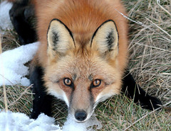 Eyes Of Gold (marylee.agnew) Tags: gold red fox vulpes magic eyes soul dreams looking close nature animal winter beauty