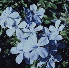 iPhone 5 capture ~~~ (tammyalsafadi) Tags: nature life love arte fotografía art photography beautiful pretty blue flower flowers
