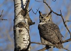 Great Horned Owl...#2 (Guy Lichter Photography - 4.7M views Thank you) Tags: canon 5d3 canada manitoba winnipeg wildlife animal animals bird birds owl owls greathornedowl