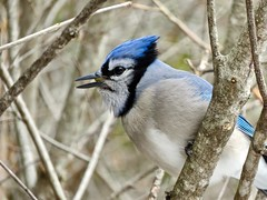 Don't talk with your mouth full (Meryl Raddatz) Tags: bluejay bird nature naturephotography canada wildlife blue