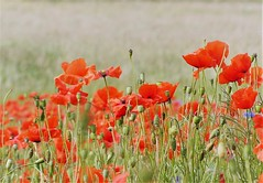 (Kaska Ppp) Tags: flower flowersphotography flora plant nature naturephotography meadow summer poppy